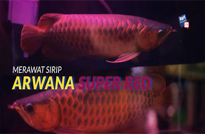 Cara Merawat Sirip Arwana Super Red